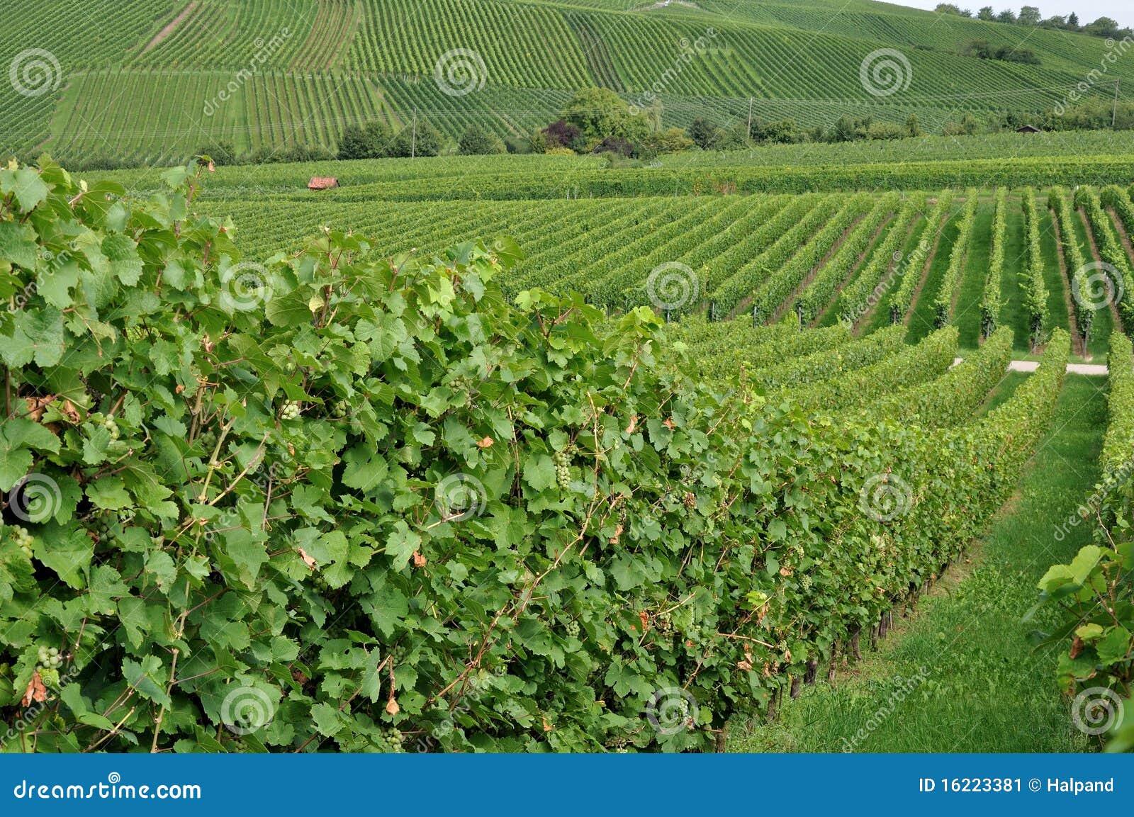 Hilly vineyard #1, baden