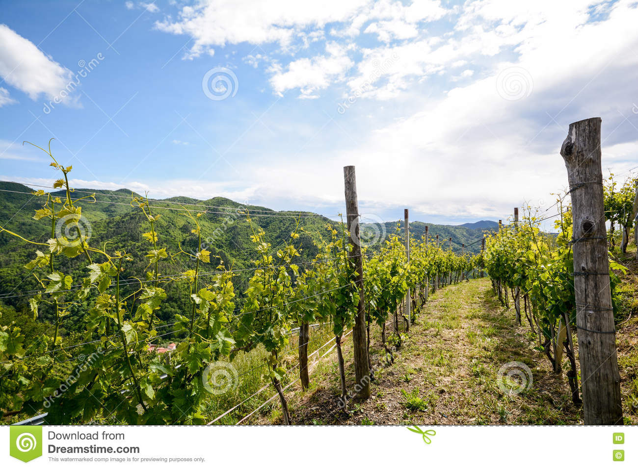 Hilly vineyards in early summer in Italy