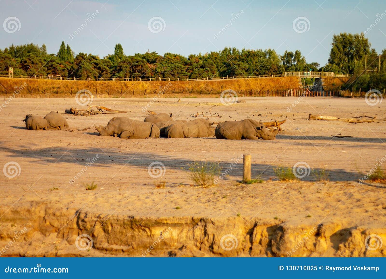HILVARENBEEK, PAÍSES BAIXOS - 1º DE AGOSTO DE 2018: Os rinocerontes estão descansando o AG
