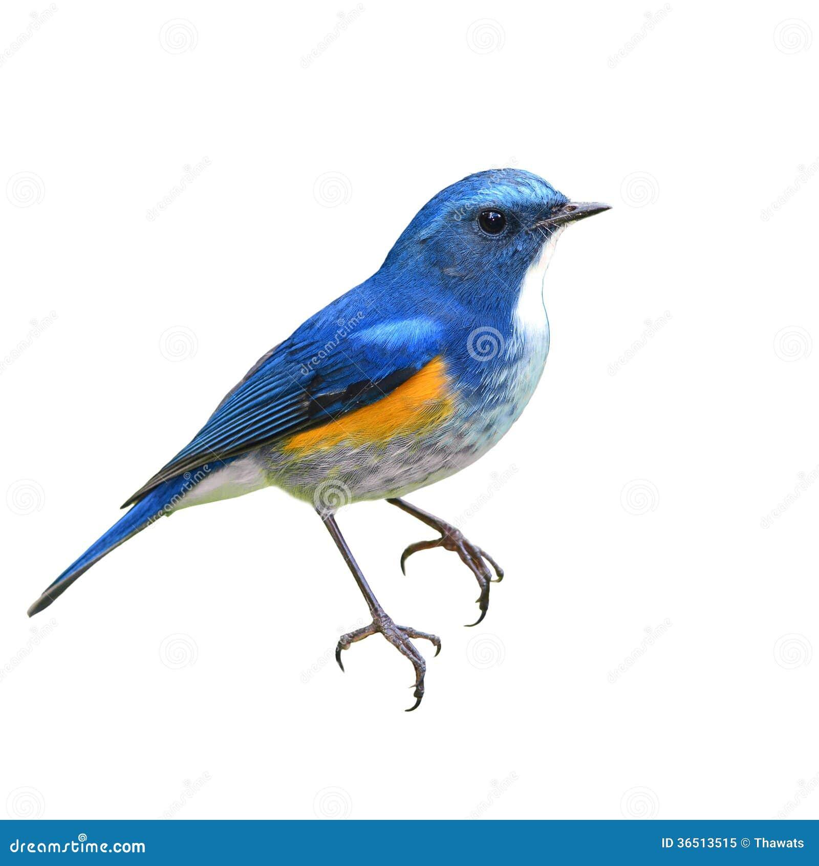 Himalajski Bluetail ptak