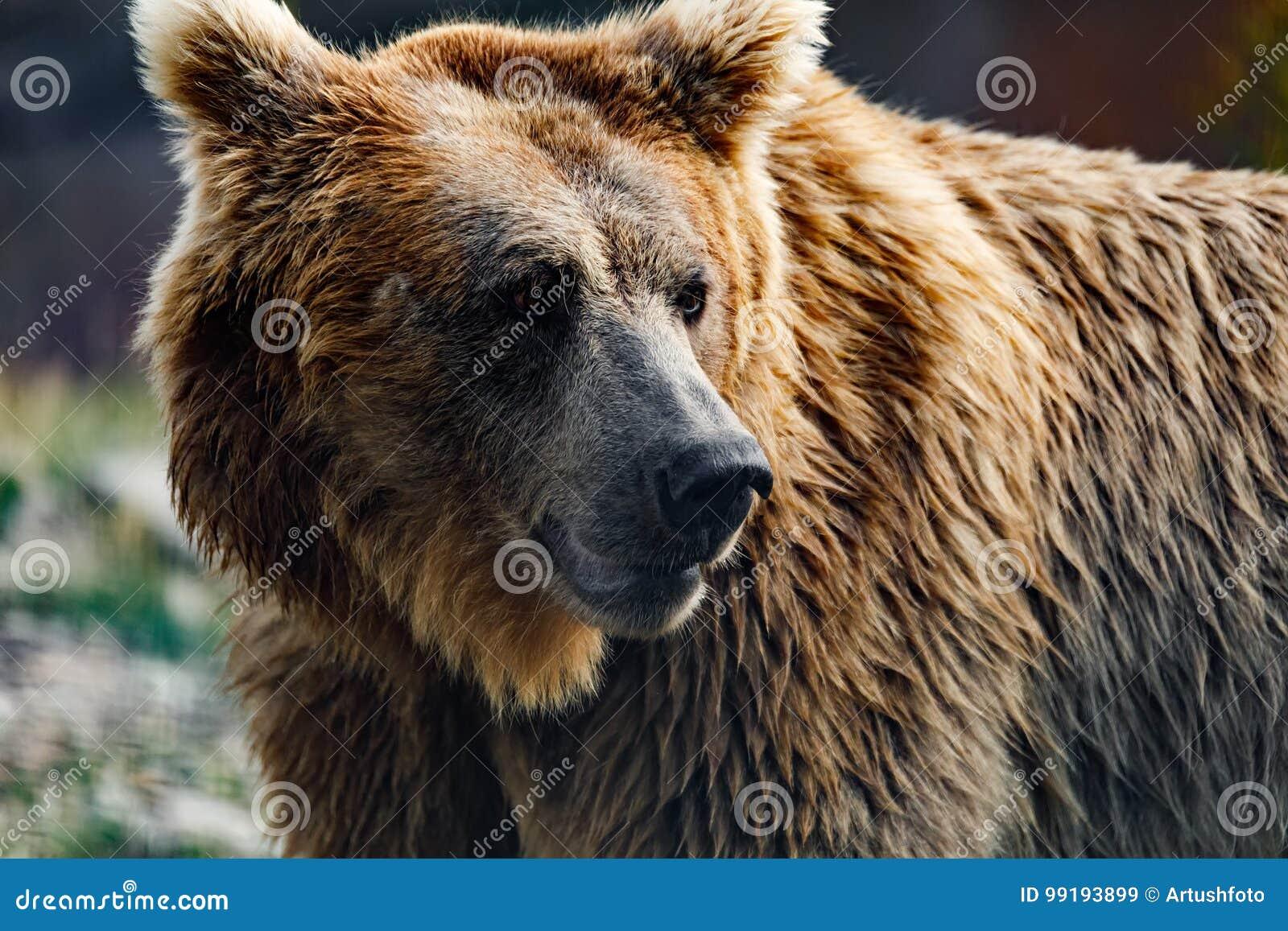 Himalayan brown bear Ursus arctos isabellinus