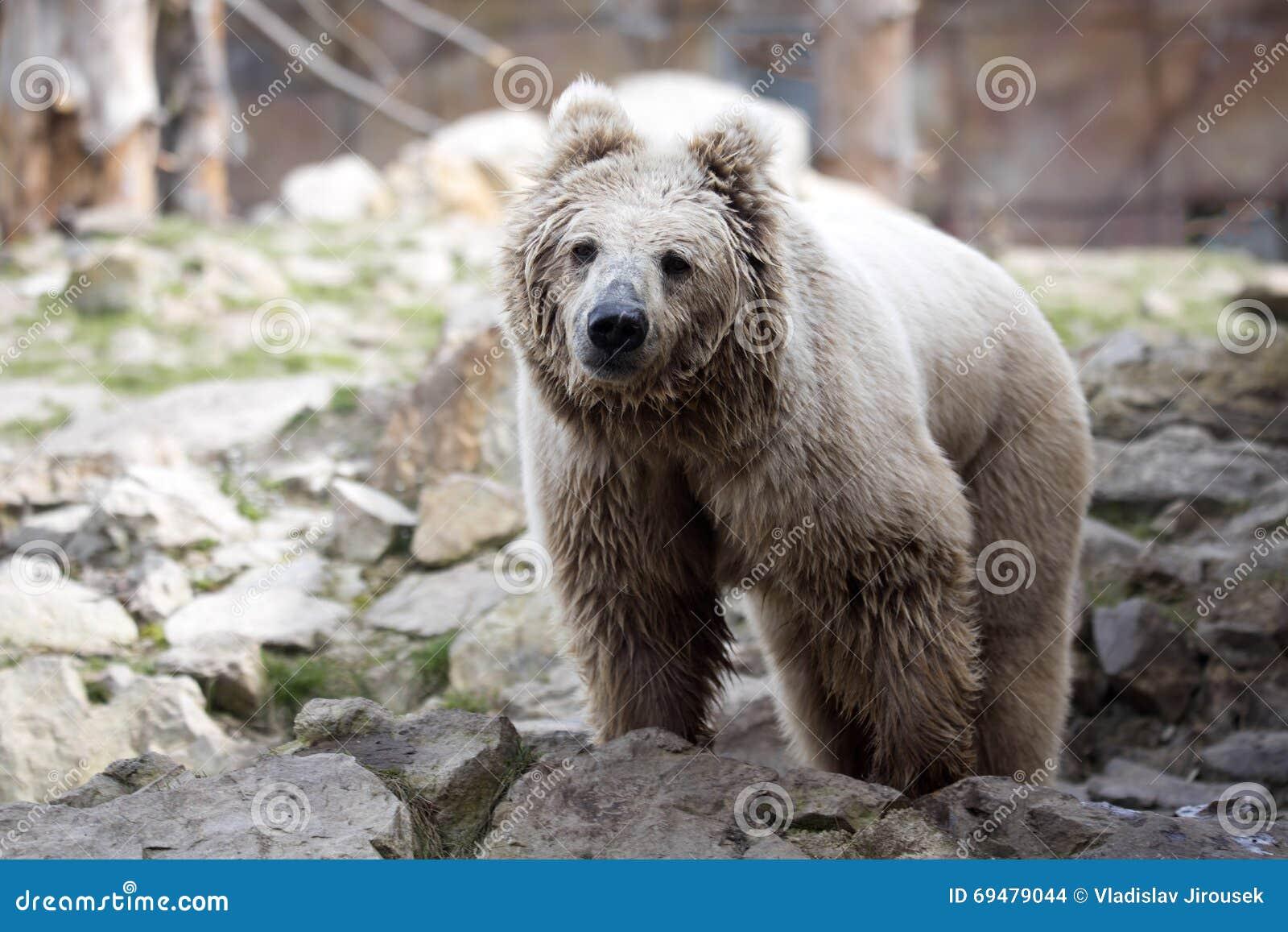 Image Gallery himalayan brown bear Himalayan Brown Bear Yeti