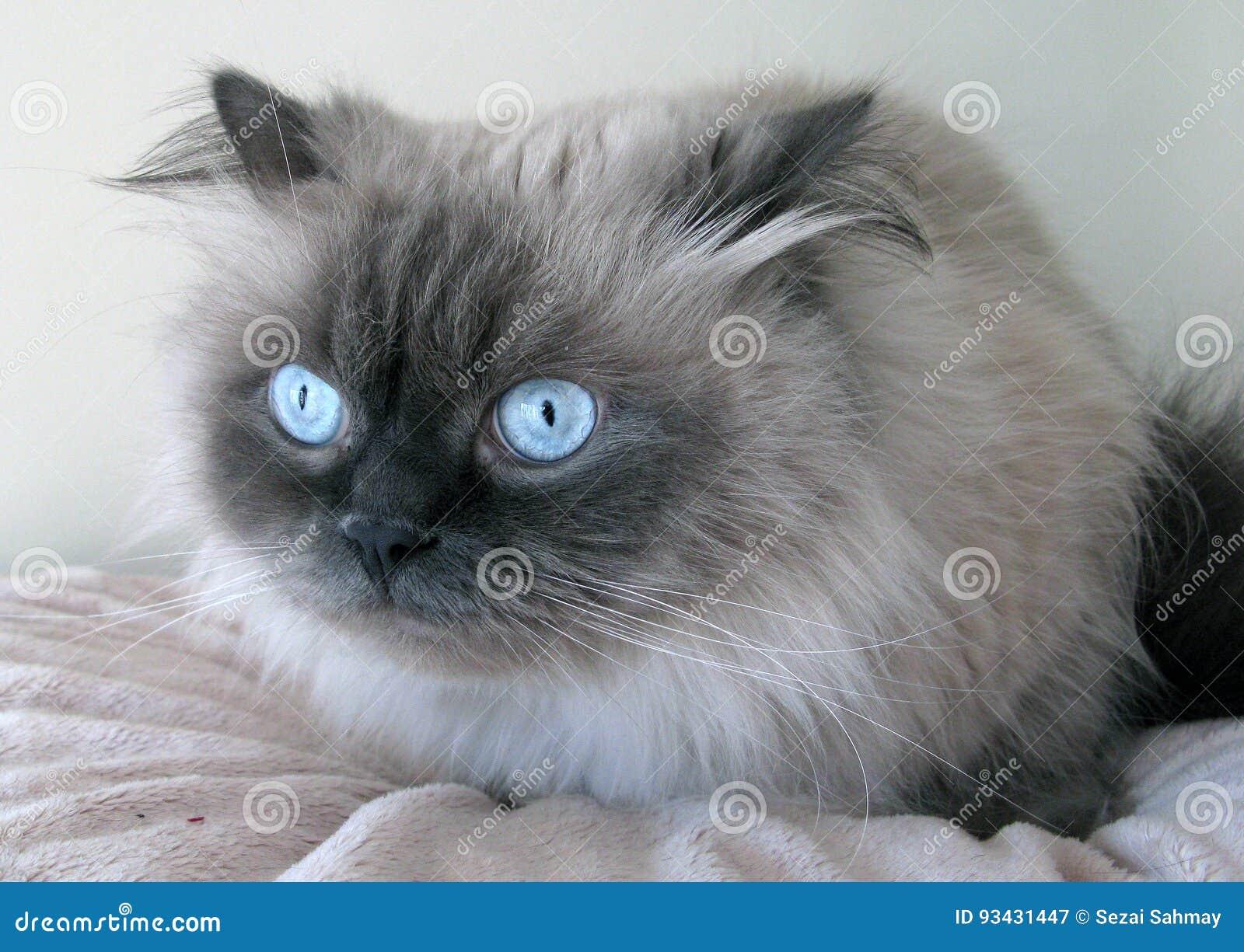 Himalayan Cat Stock Image Image Of Mammalian Were Animal