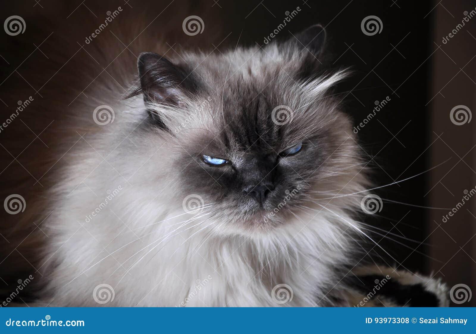 Himalayan Cat Stock Photo Image Of Mammalian Ecology