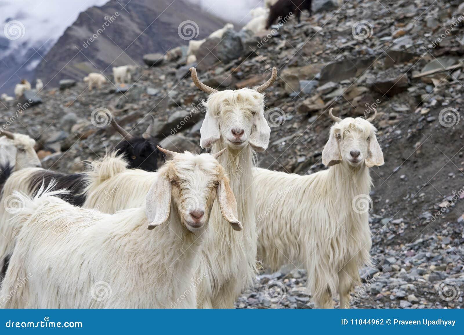 himalayan goat stock photography image 11044962