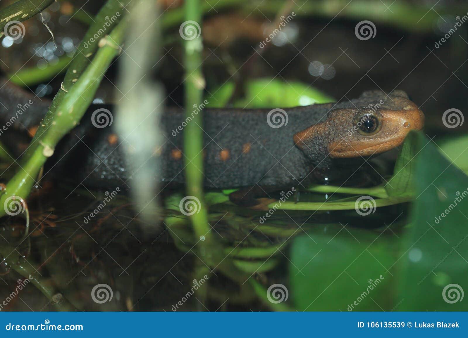 Himalayan salamander
