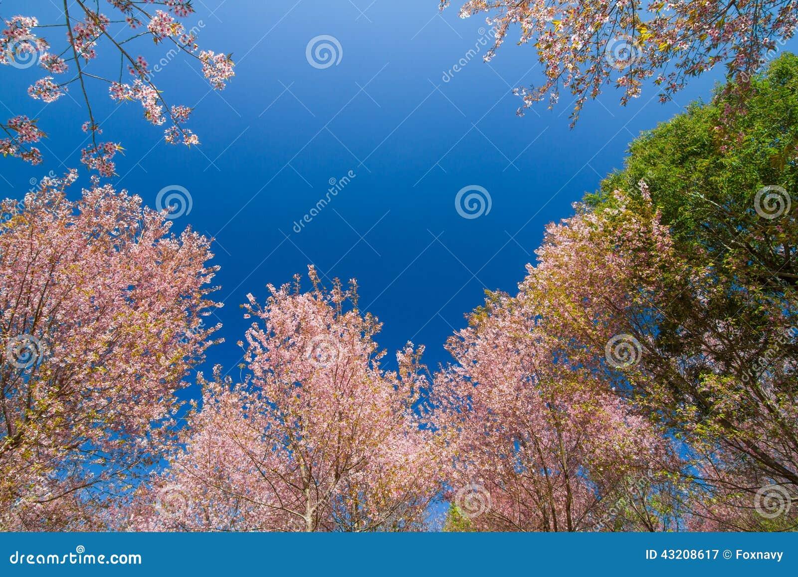 Download Himalayan wild för Cherry fotografering för bildbyråer. Bild av blommor - 43208617