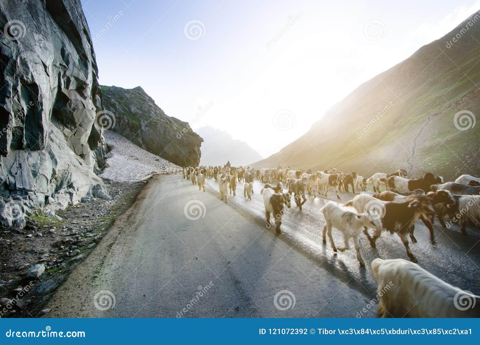 Himalayas natureza e animais na estrada Montanhas indianas Cabras e carneiros que vão uma cruz a estrada e os carros que esperam