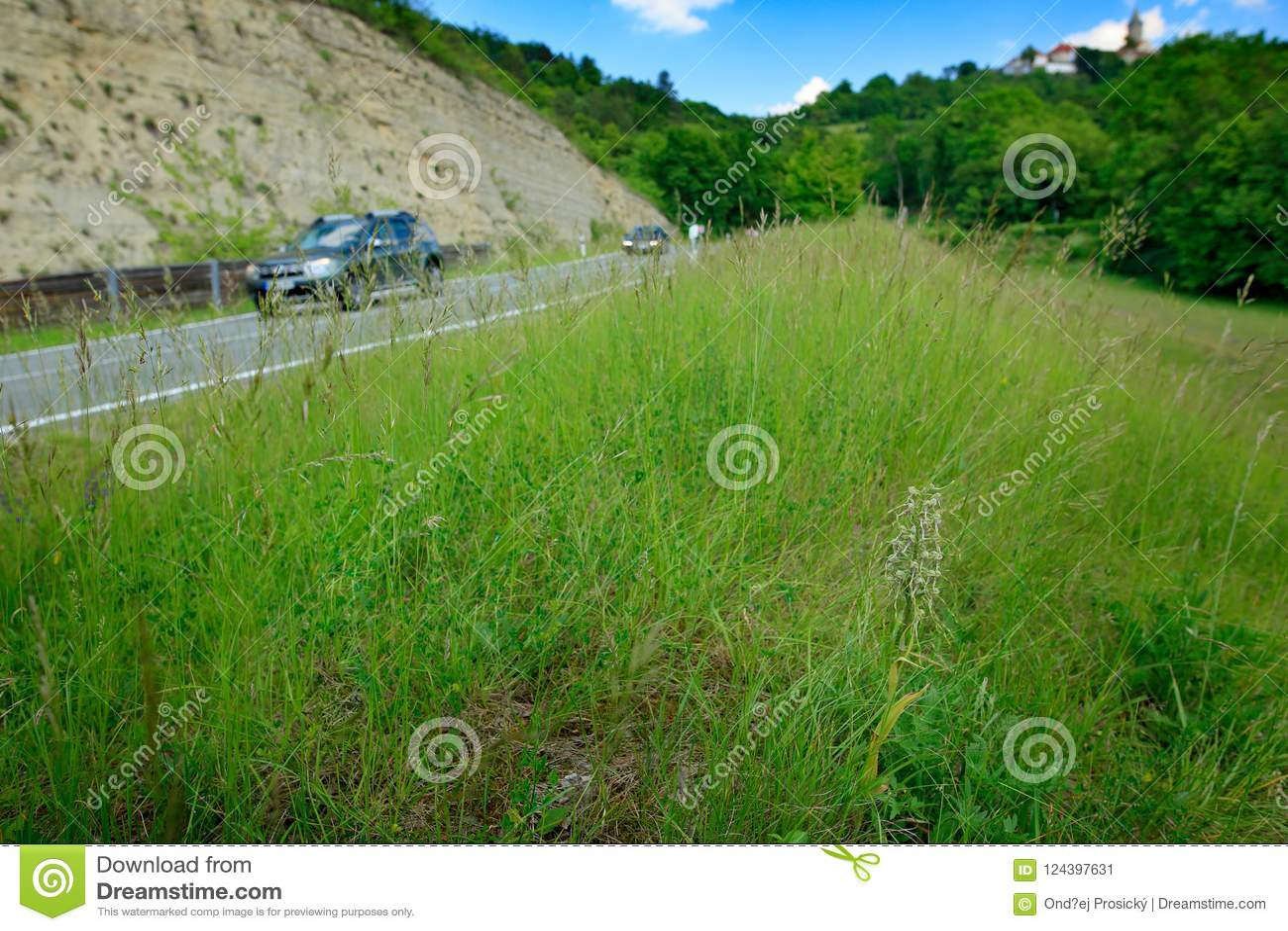 Himantoglossumhircinum, Hagedisorchidee, bloeit wilde installaties dichtbij de weg met auto, Jena, Duitsland Aard in Europa