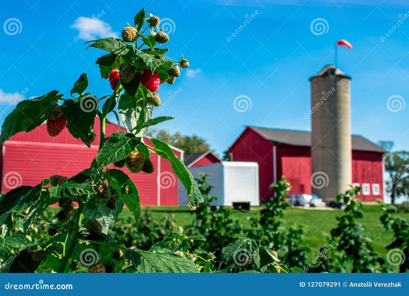 Himbeerbusch im Bauernhof