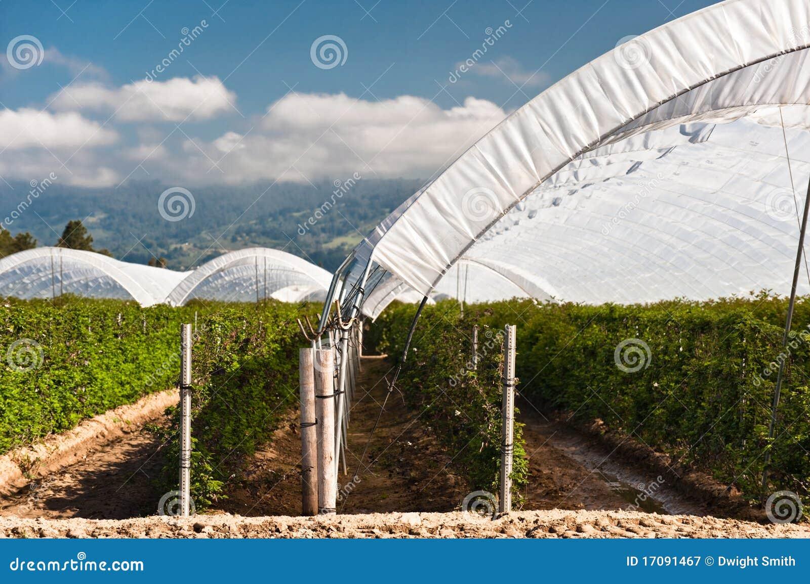 Himbeere-Zelte