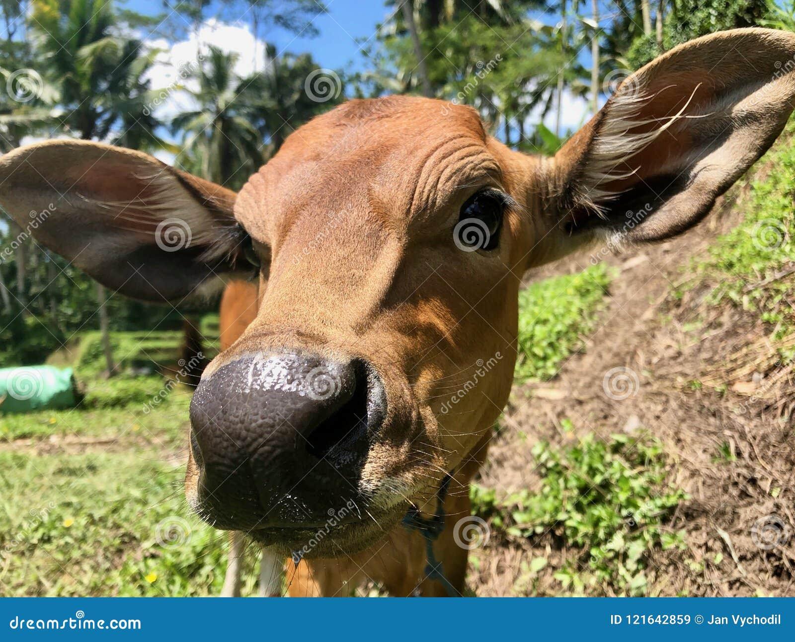 Hindu Cow In Bali Brown Baby Cow Detail Closeup Stock Image