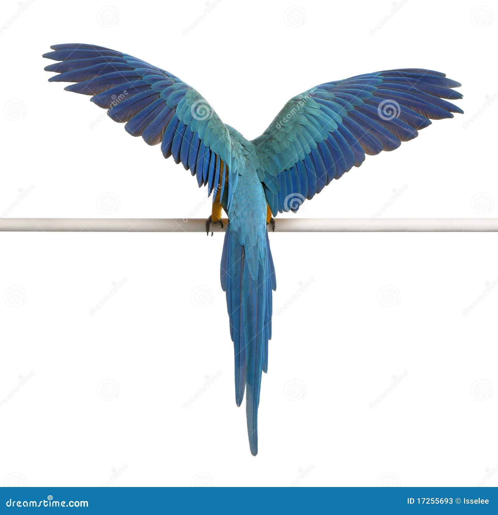 Hintere Ansicht des blauen und gelben Macaw, Ara Ararauna