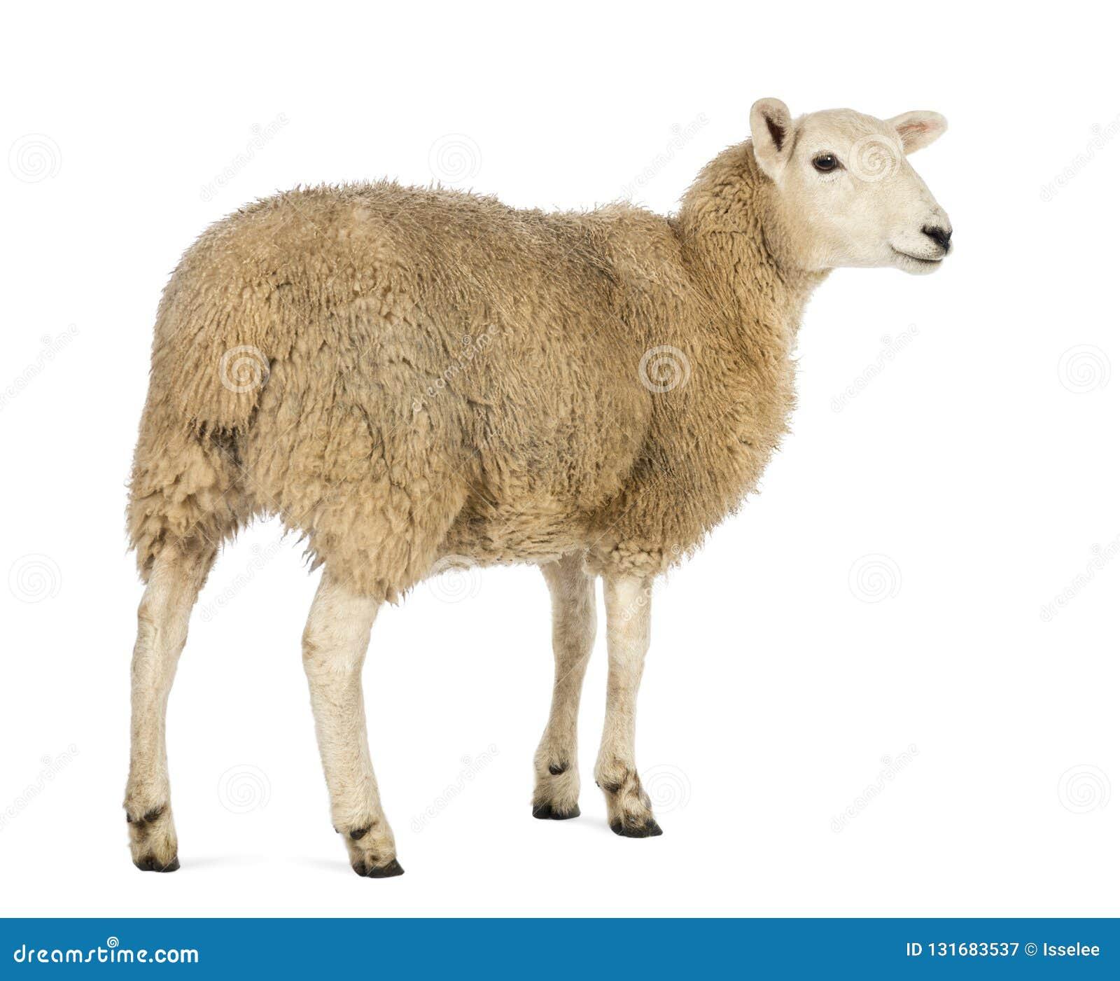 Hintere Ansicht eines Schafs, das weg gegen weißen Hintergrund schaut