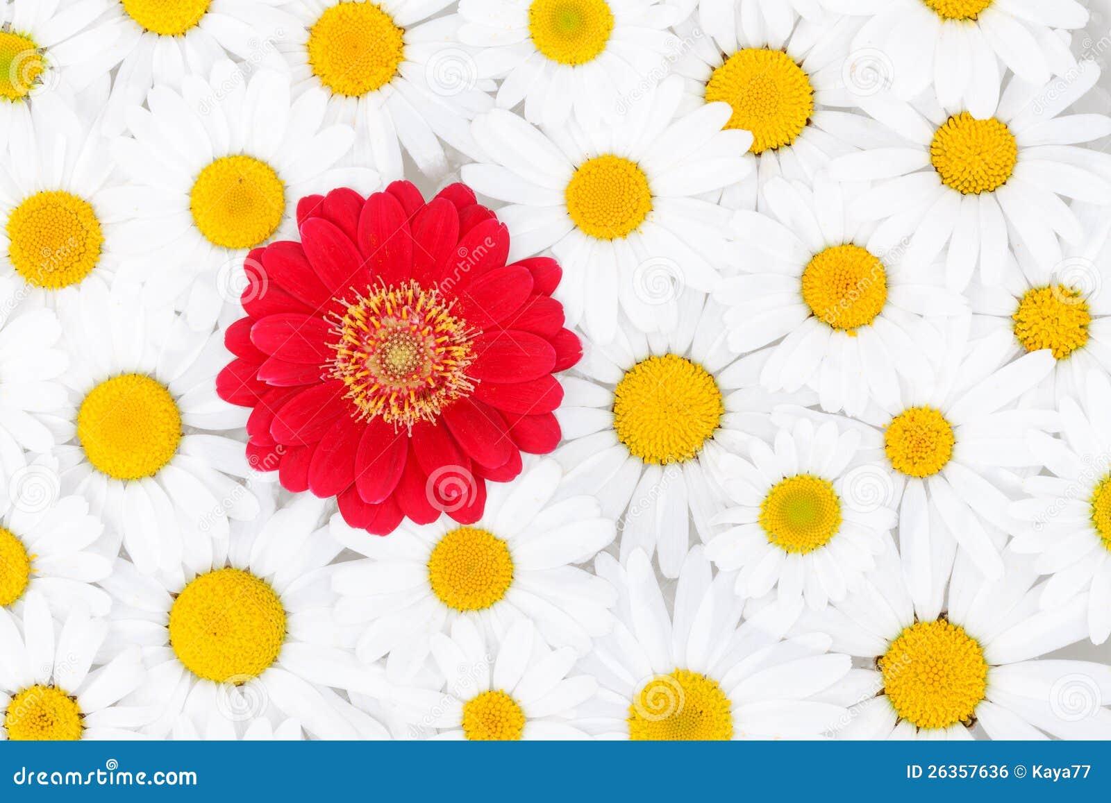 Hintergrund der Gänseblümchen mit rotem Gerbera