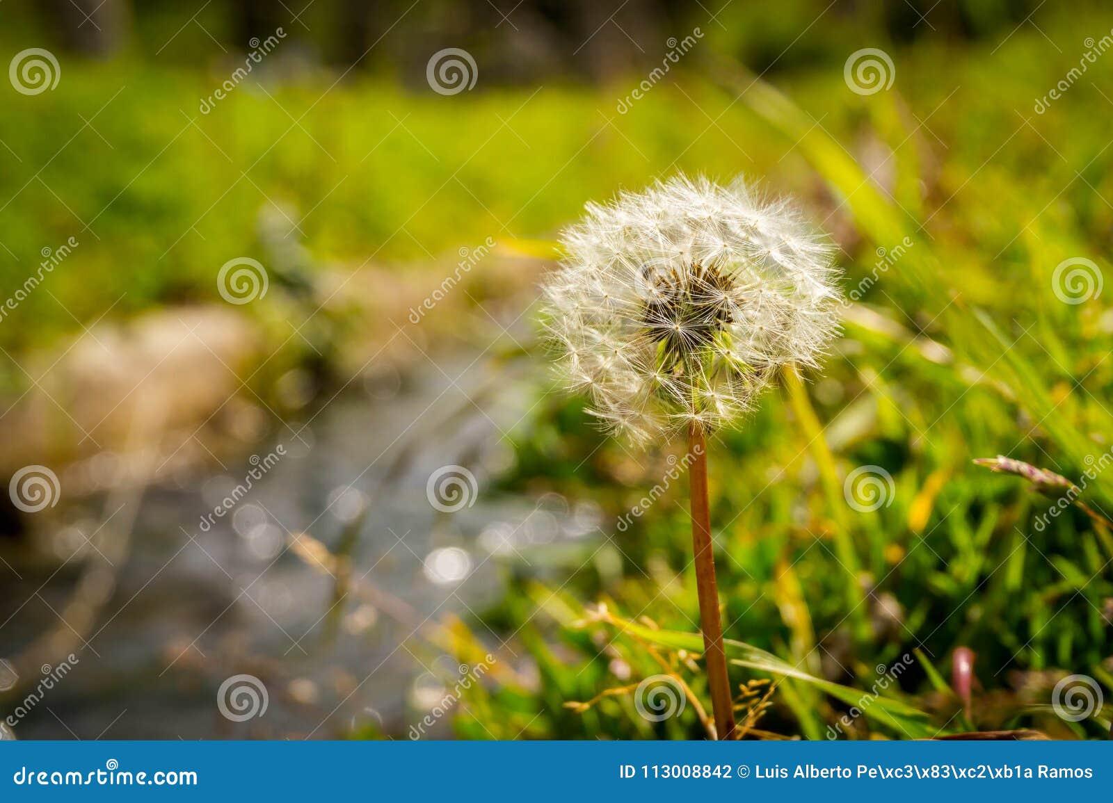 Hintergrund einer Löwenzahn-Blume auf dem Gebiet im Sommer