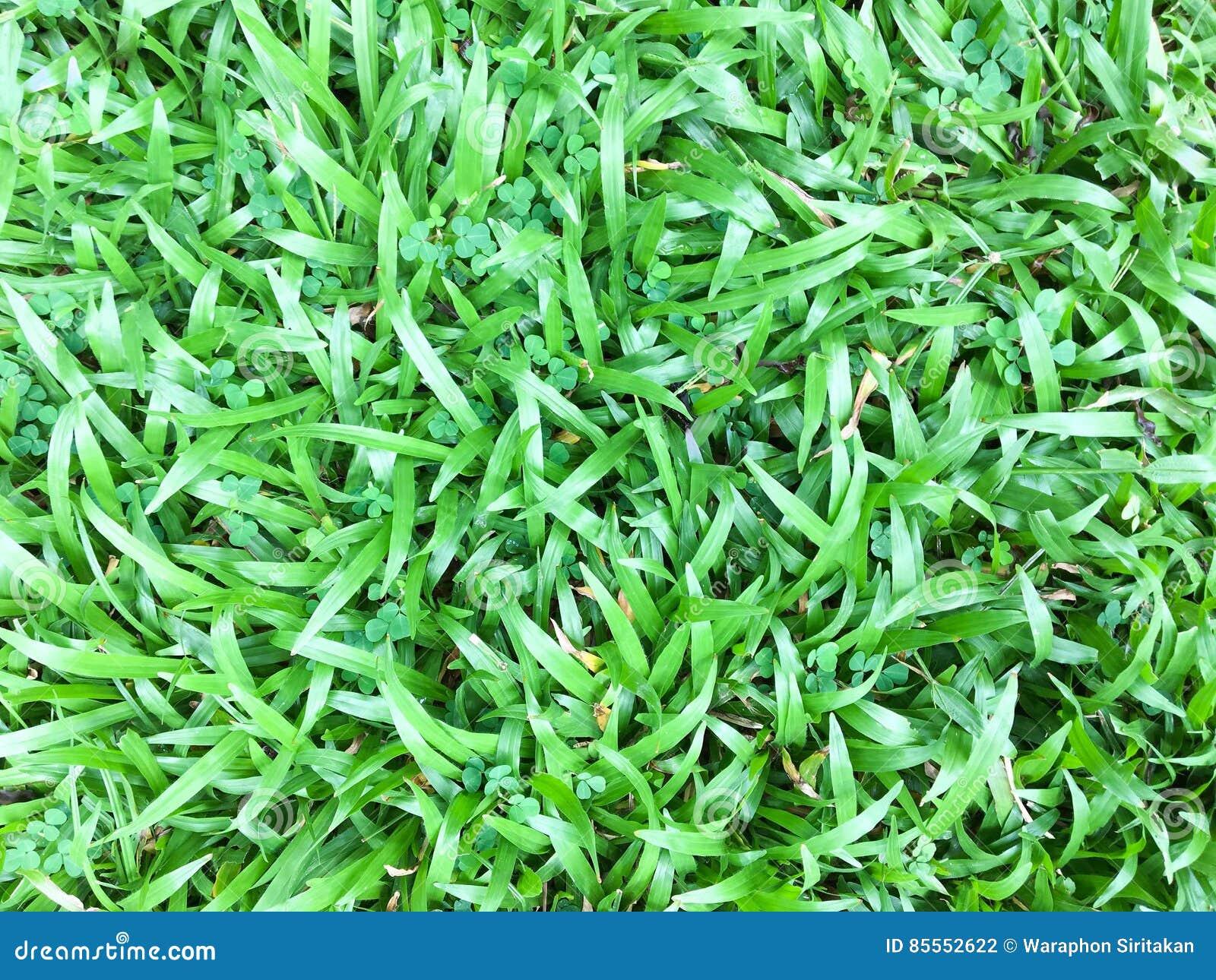 Hintergrund-Grashintergrund des grünen Rasenmusters strukturierter