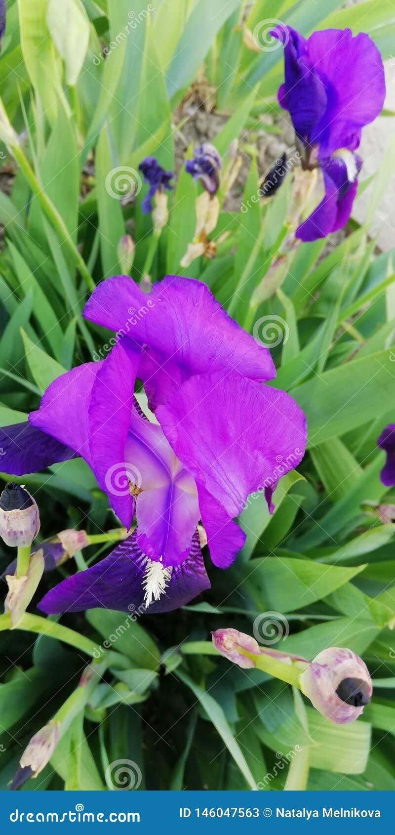 Hintergrund Lebenwunder Vorzügliche Irisblume auf dem Hintergrund von grünen Blättern und von Gras