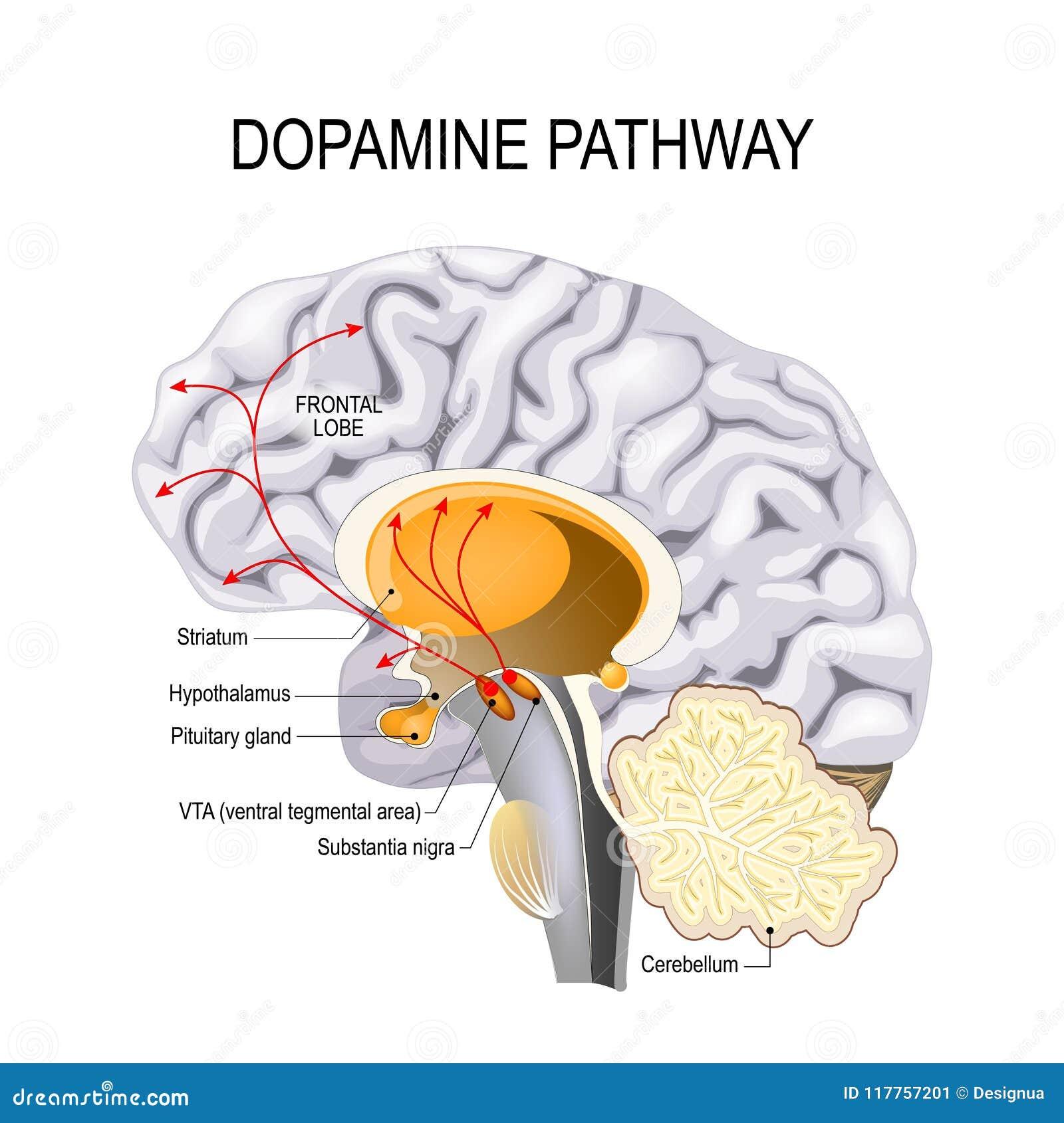 Hipótesis De La Dopamina De La Esquizofrenia Ilustración del Vector ...