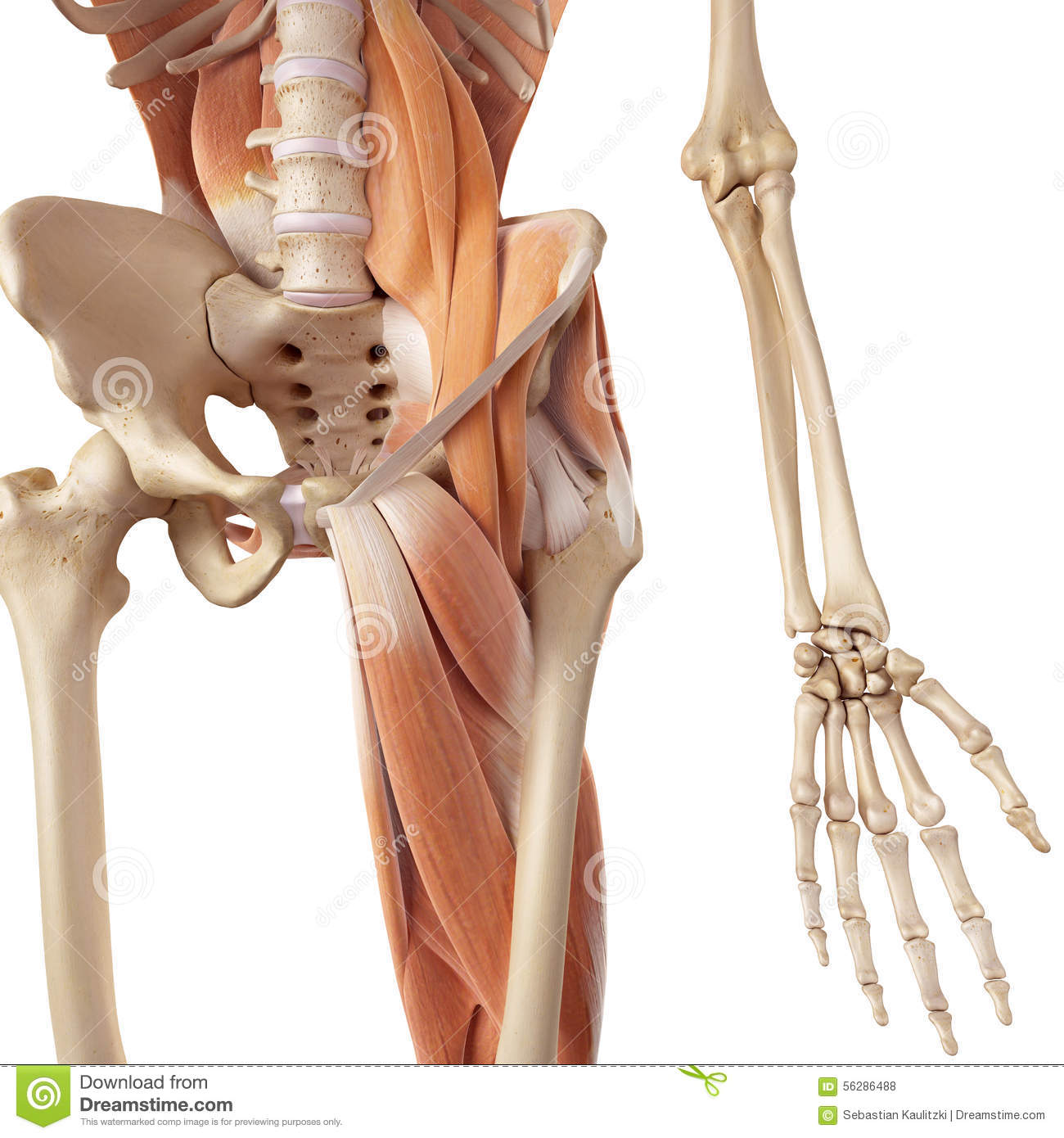 The hip and leg muscles stock illustration. Illustration of science ...
