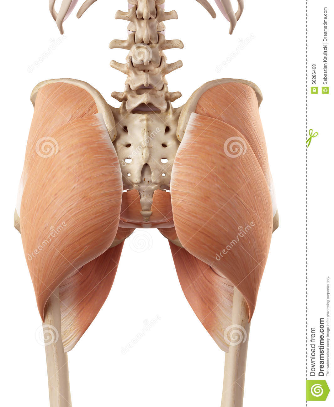 The Hip Muscles Stock Illustration Illustration Of Muscles 56286468