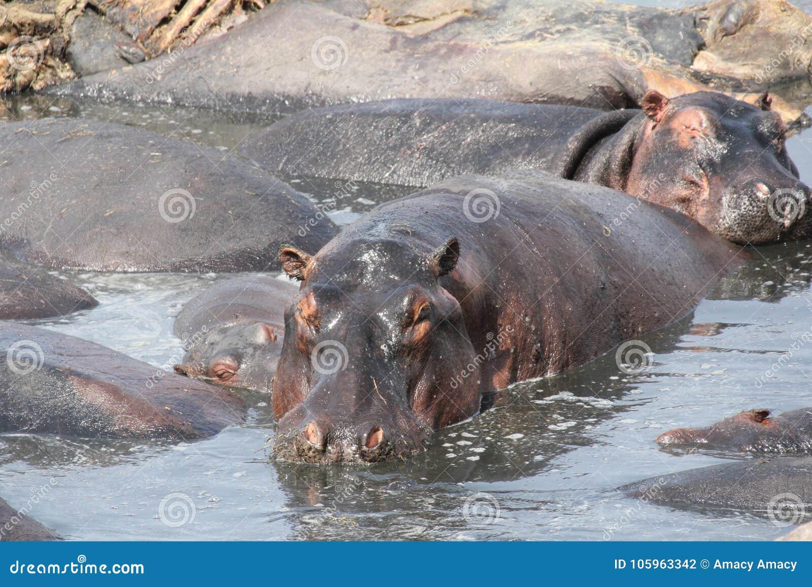 Hipo during day time at ruaha national park tanzania
