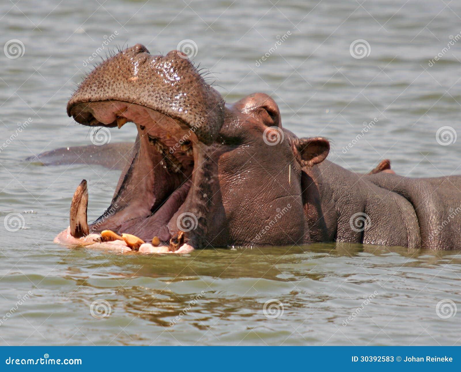 Hipopótamo africano