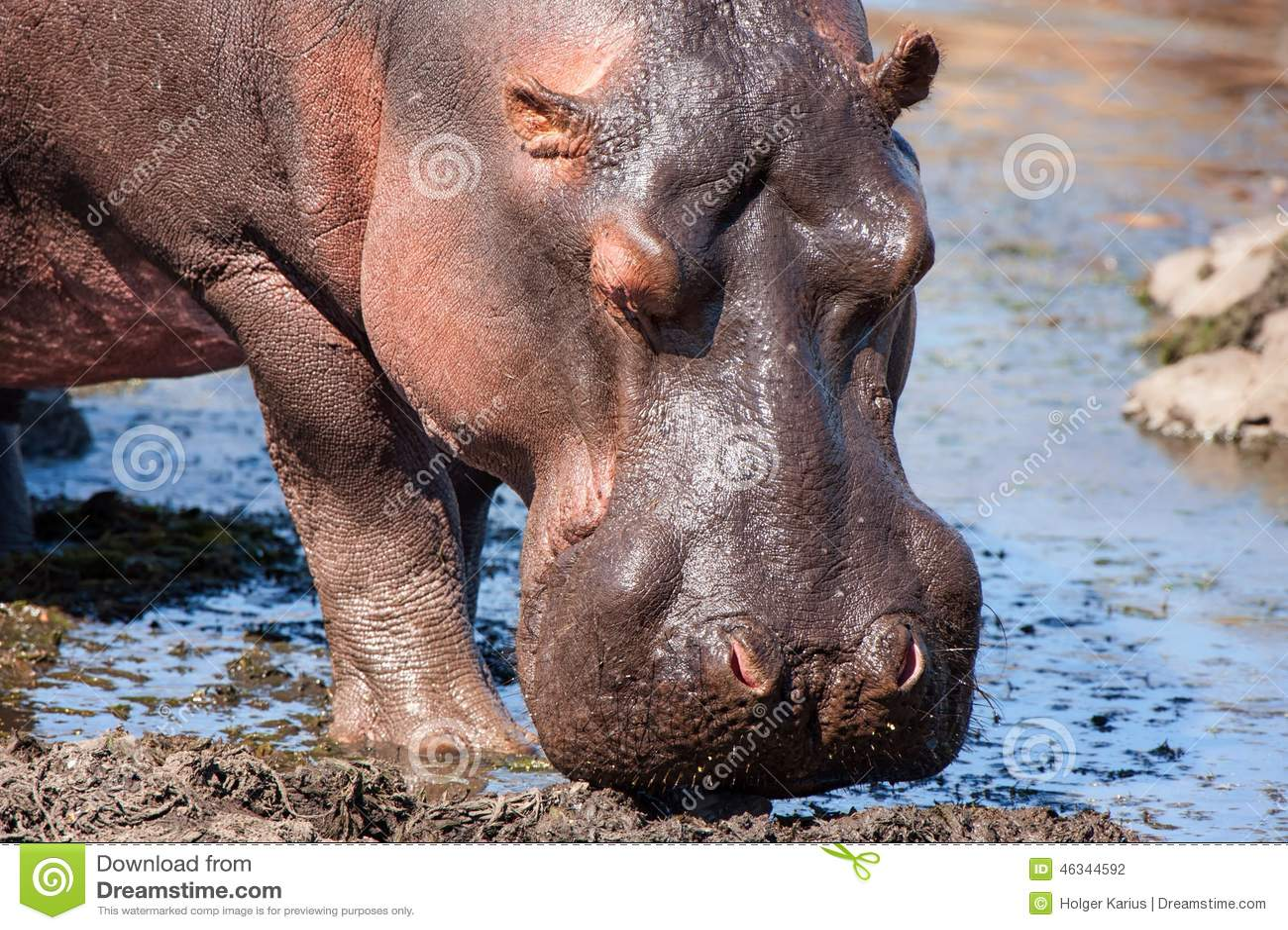 Hipopótamo (amphibius do hipopótamo)