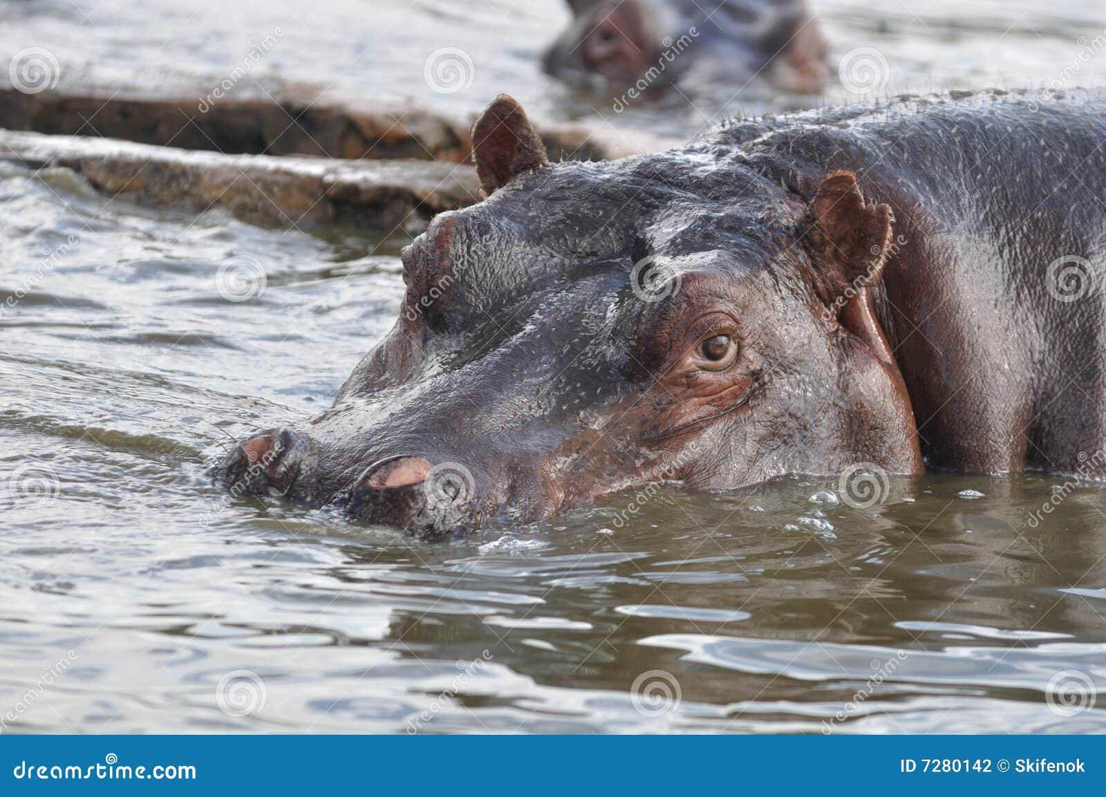Hipopótamo cuidadoso