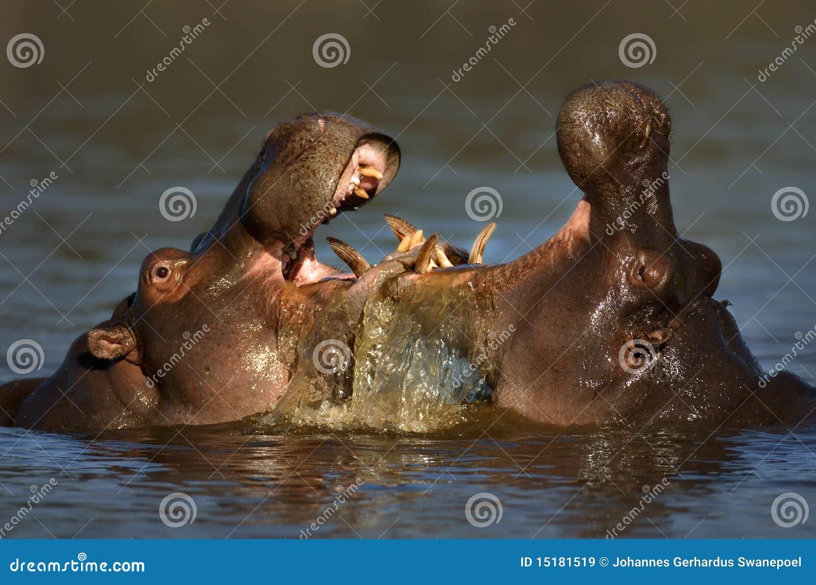 Hipopótamo de la lucha