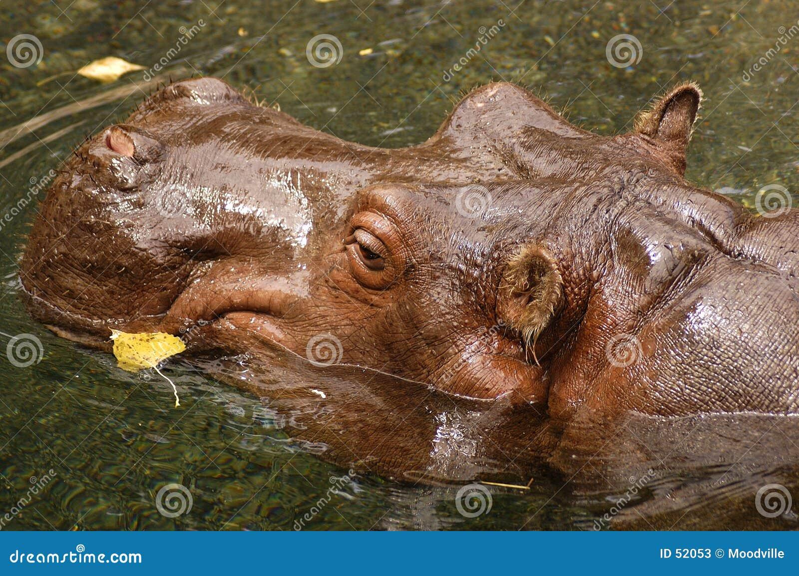 Hipopótamo de la natación