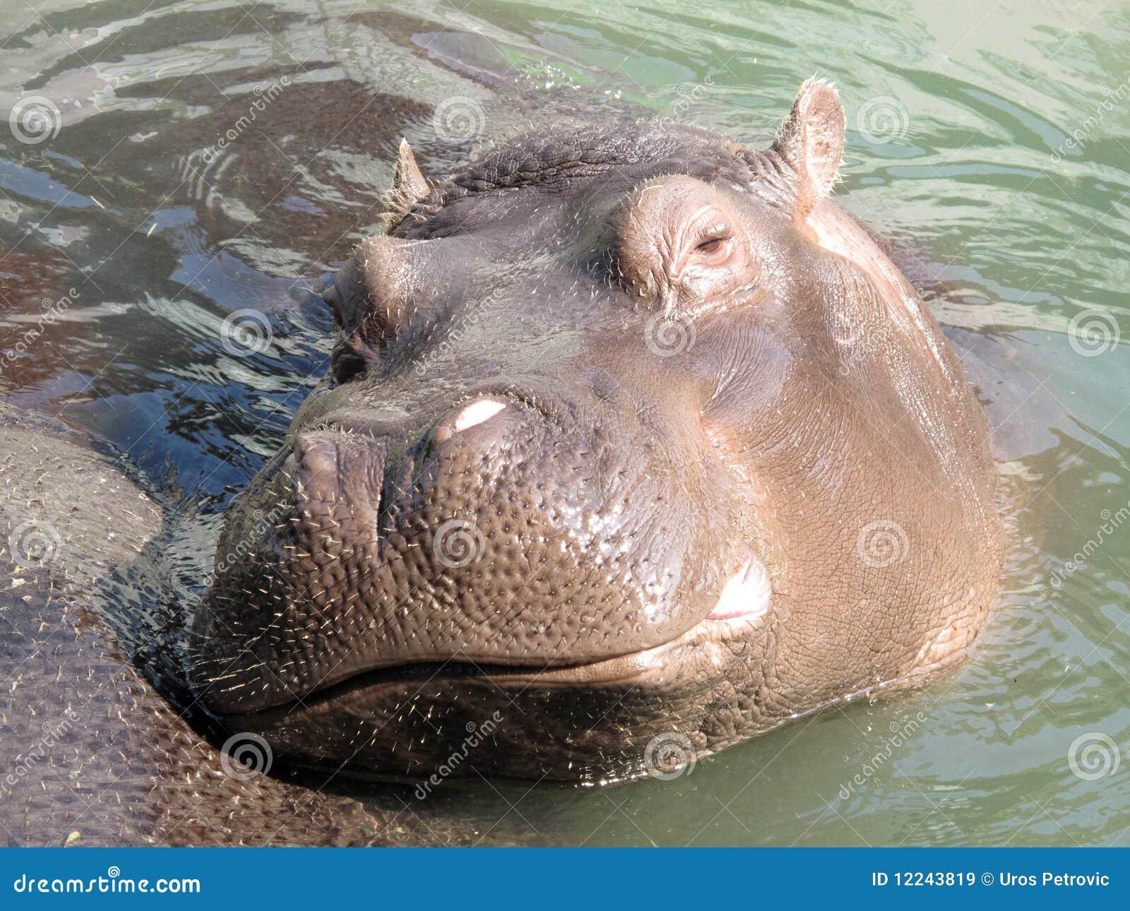 Hipopótamo do Hippopotamus
