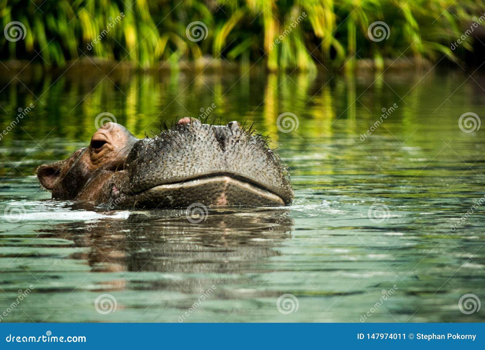 Hipopótamo en el agua que muestra apenas la cabeza