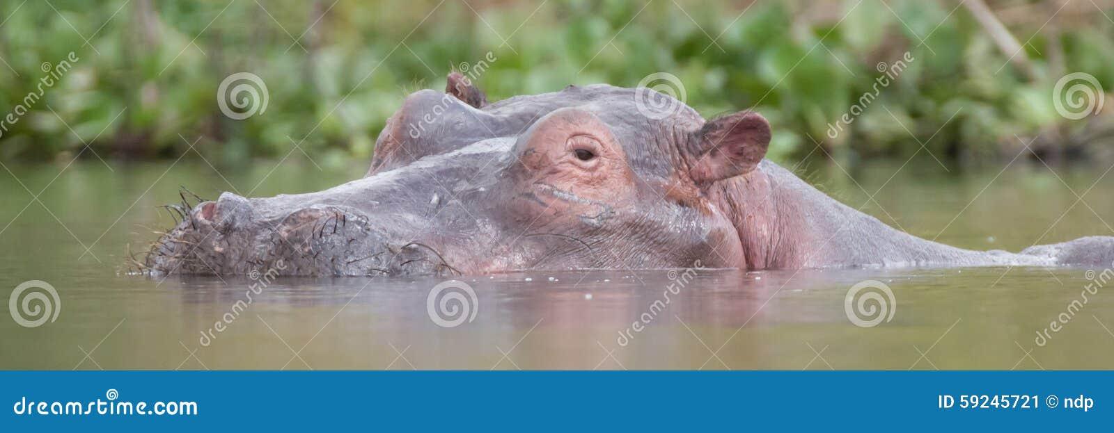 Hipopótamo en el lago con por encima de la superficie principal
