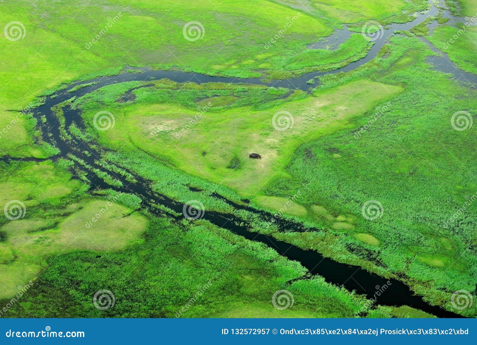Hipopótamo escondido na vegetação verde Paisagem aérea no delta de Okavango, Botswana Lagos e rios, vista do avião Grama verde