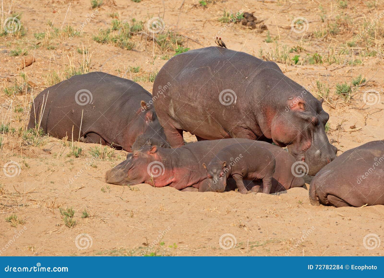 Hipopótamo na terra