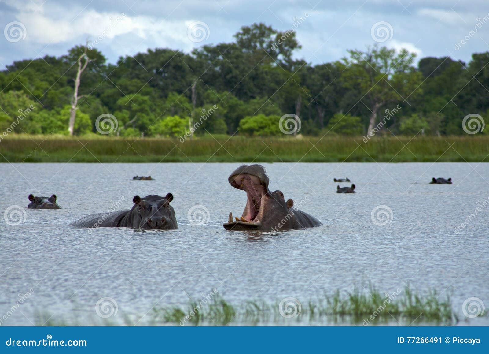 Hipopótamo no delta de Okavango - parque nacional de Moremi