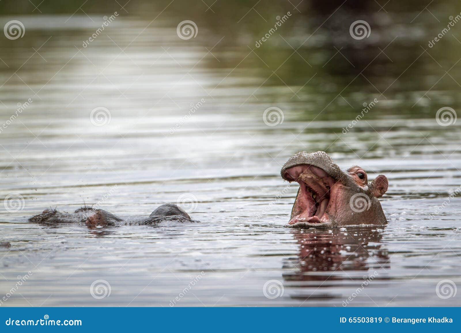 Hipopótamo no parque nacional de Kruger, África do Sul