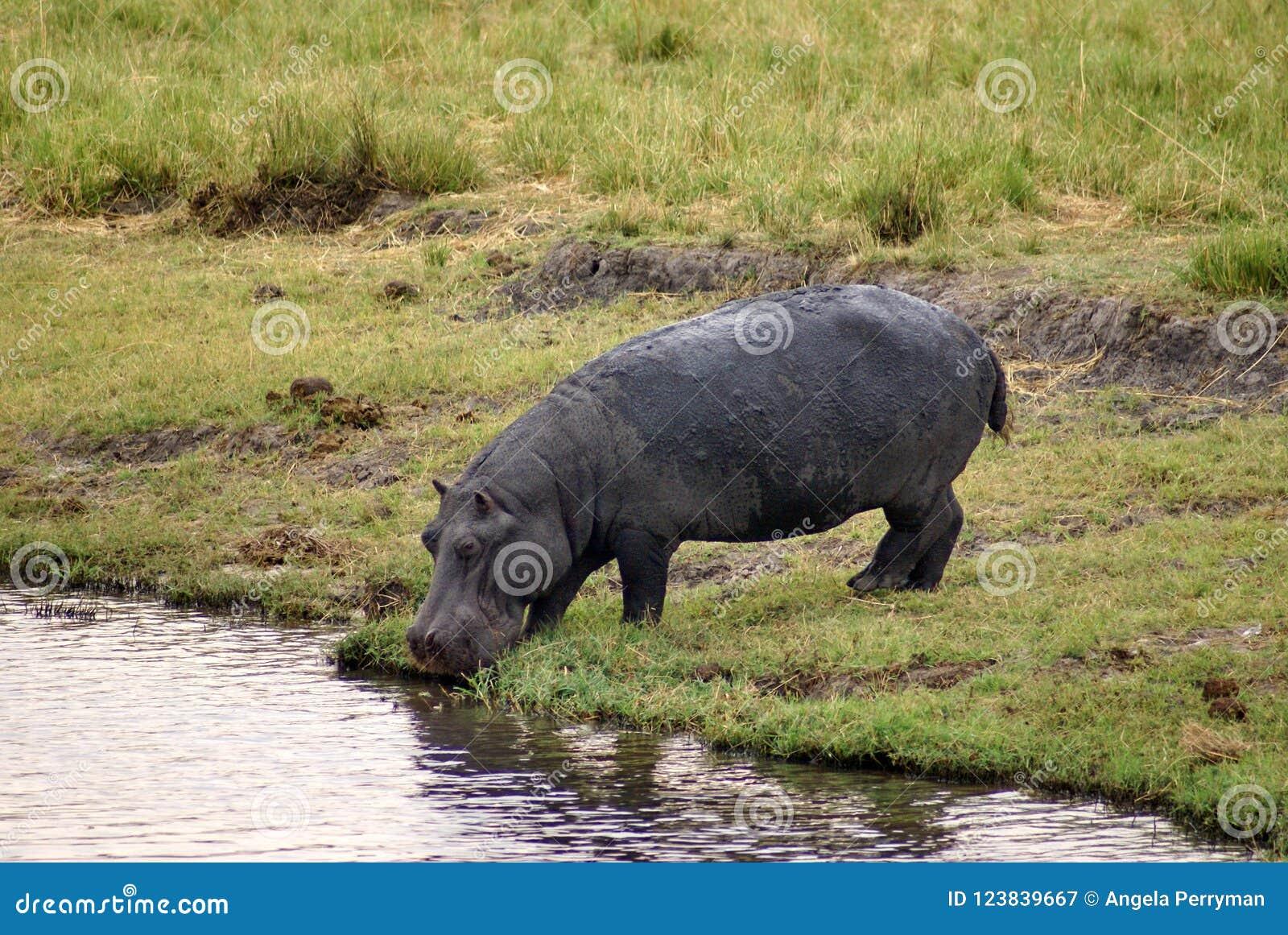 Hipopótamo que bebe do rio em Botswana