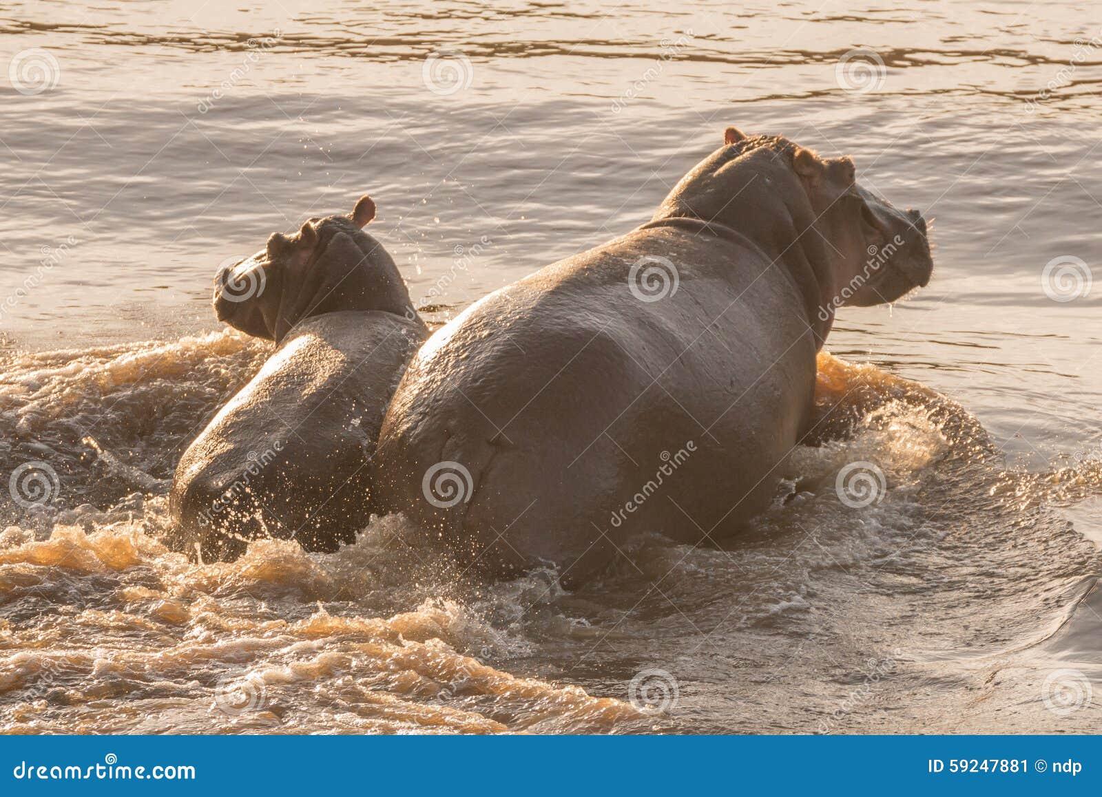 Hipopótamo y su becerro que vadean a través del río
