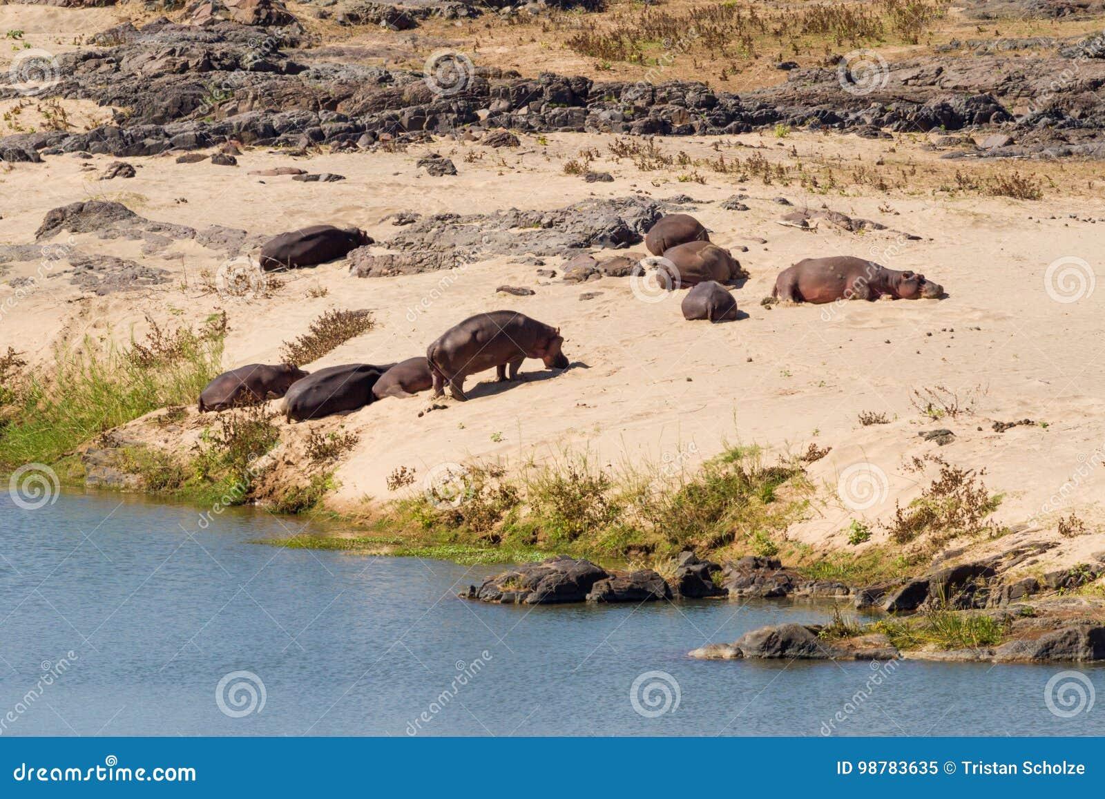 Hipopótamos en el banco