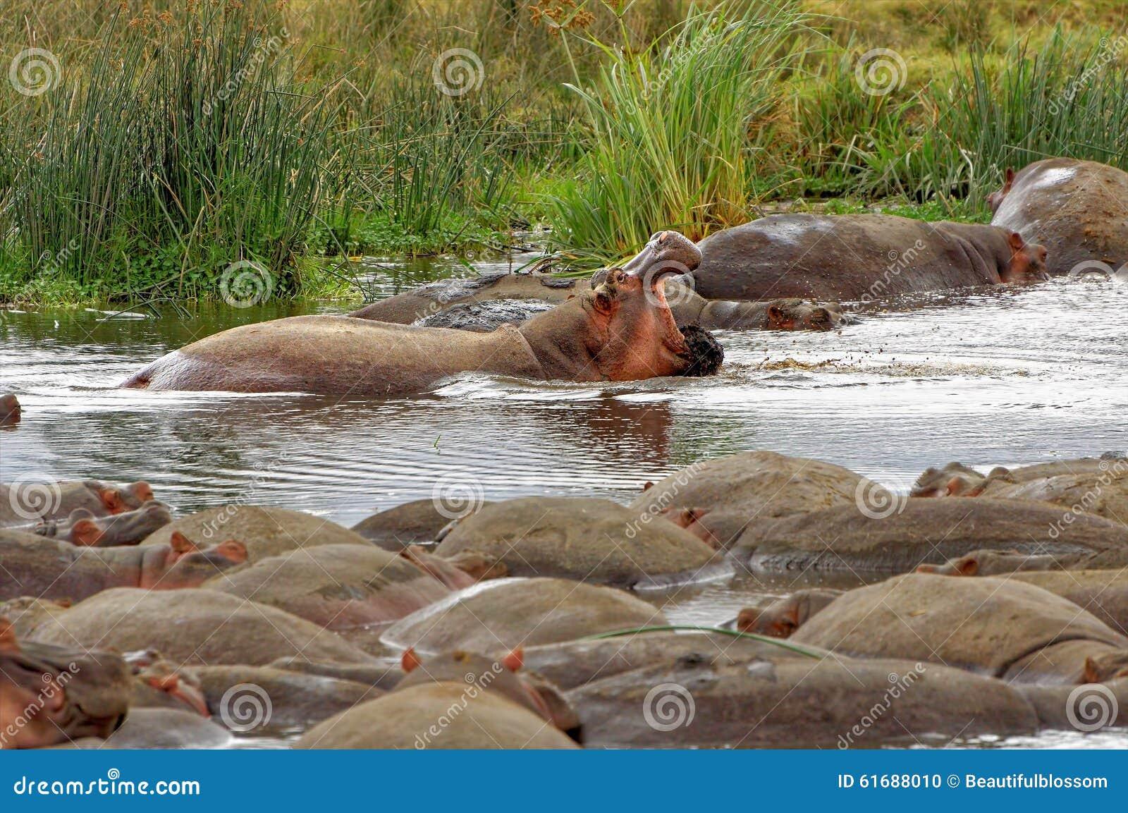 Hipopótamos no rio na área da conservação de Ngorongoro, Tanzânia