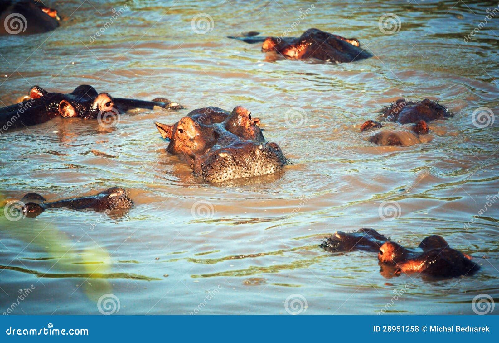 Hipopotam, hipopotam grupa w rzece. Serengeti, Tanzania, Afryka