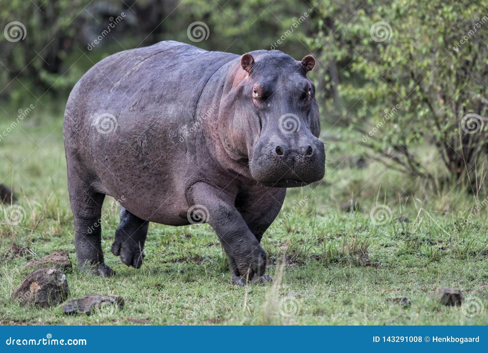 Hipopotama bieg w Masai Mara GR w Kenja