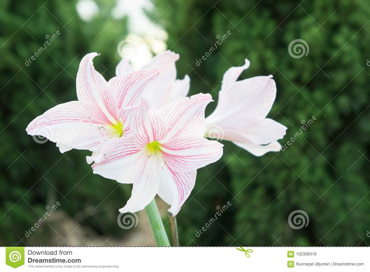 Hippeastrum flowers flowers like lilies is a beautiful romantic download hippeastrum flowers flowers like lilies is a beautiful romantic stock image image of izmirmasajfo