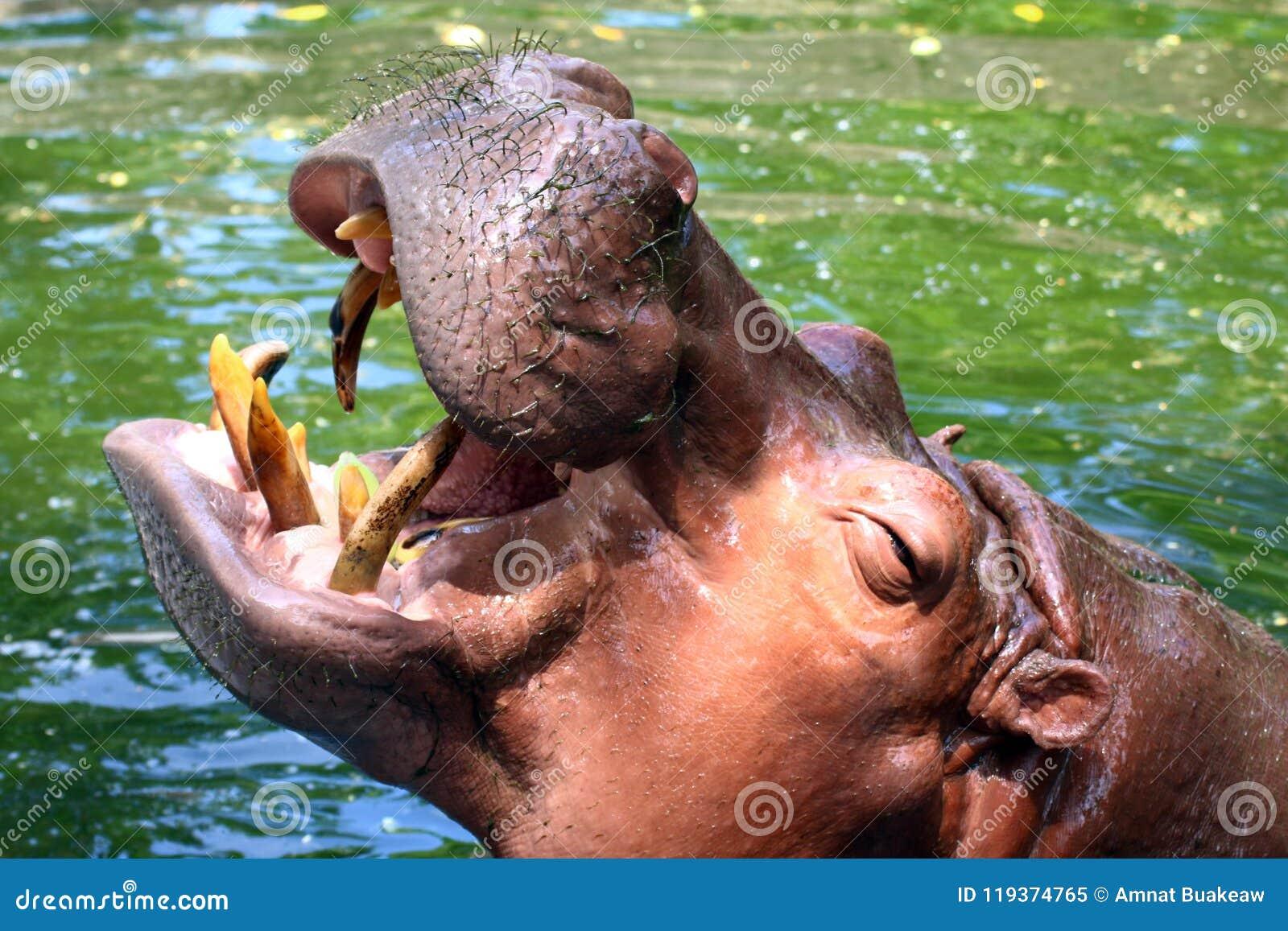 Hippo, ανοικτό στόμα Hippopotamus, Hippopotamus στενό σε επάνω νερού