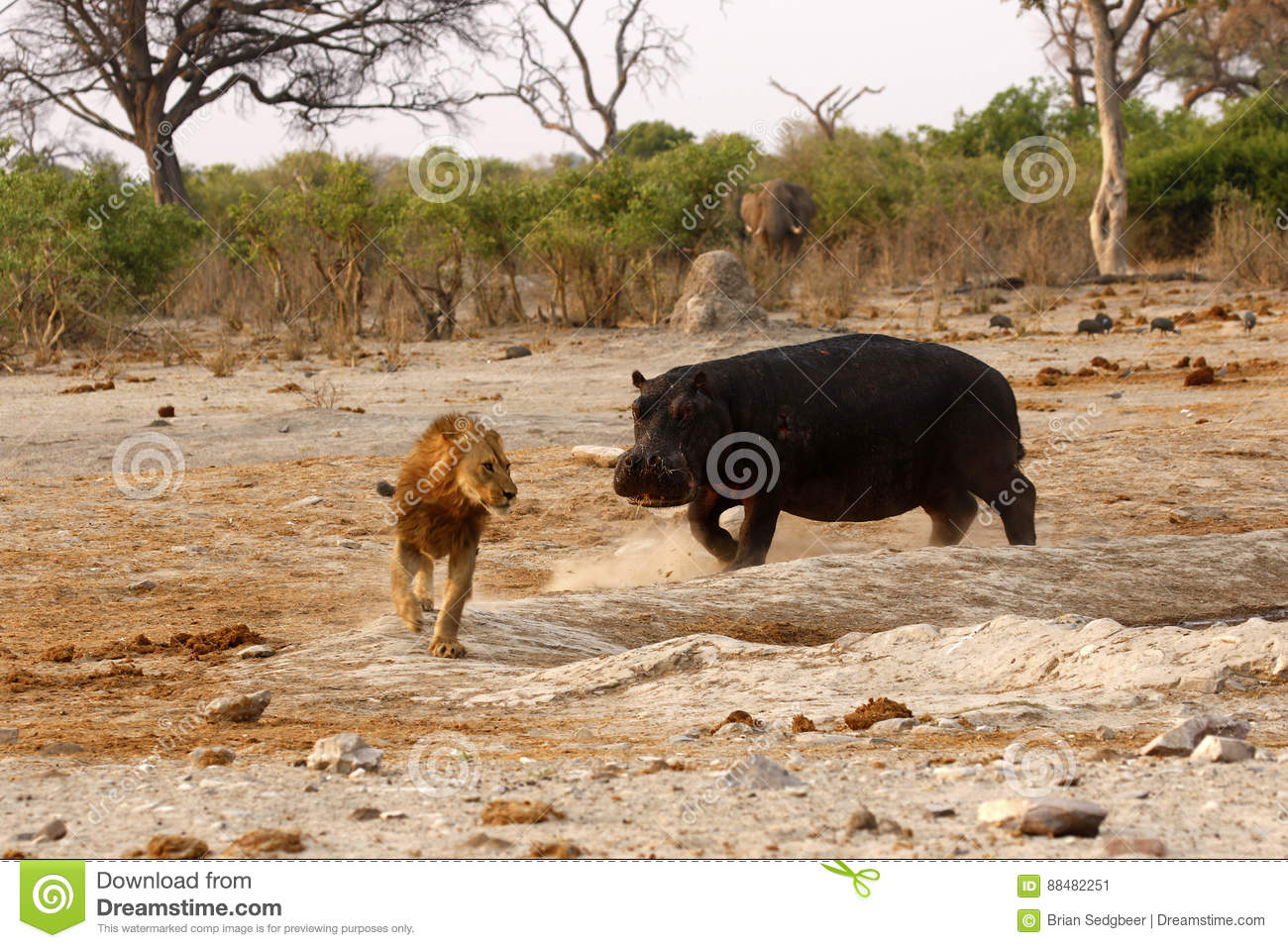 Hippo Attack stock image  Image of hippo, brsimages, african