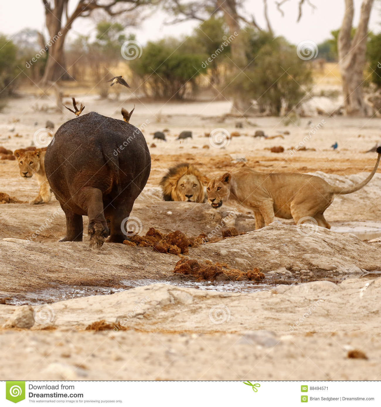 Hippo Attack stock image  Image of brsimages, hippopotamus