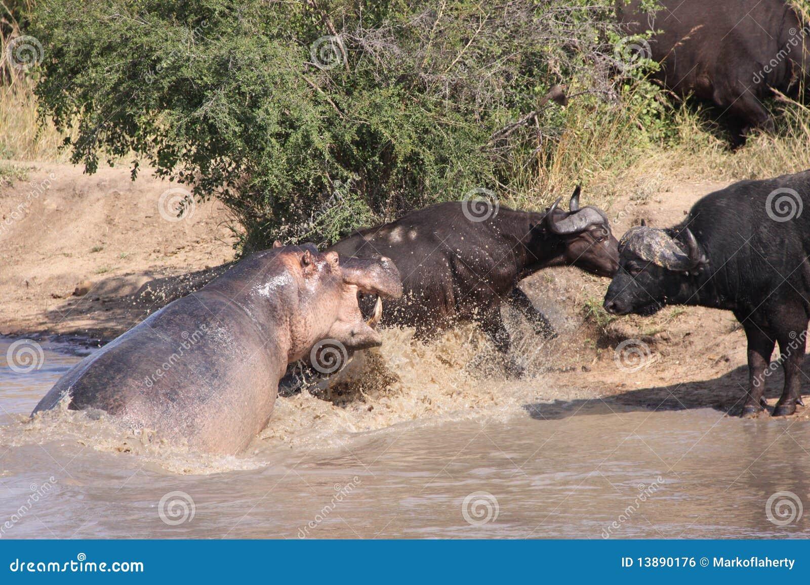 Hippo Attacking Cape Buffalo Stock Photo - Image of buffalo