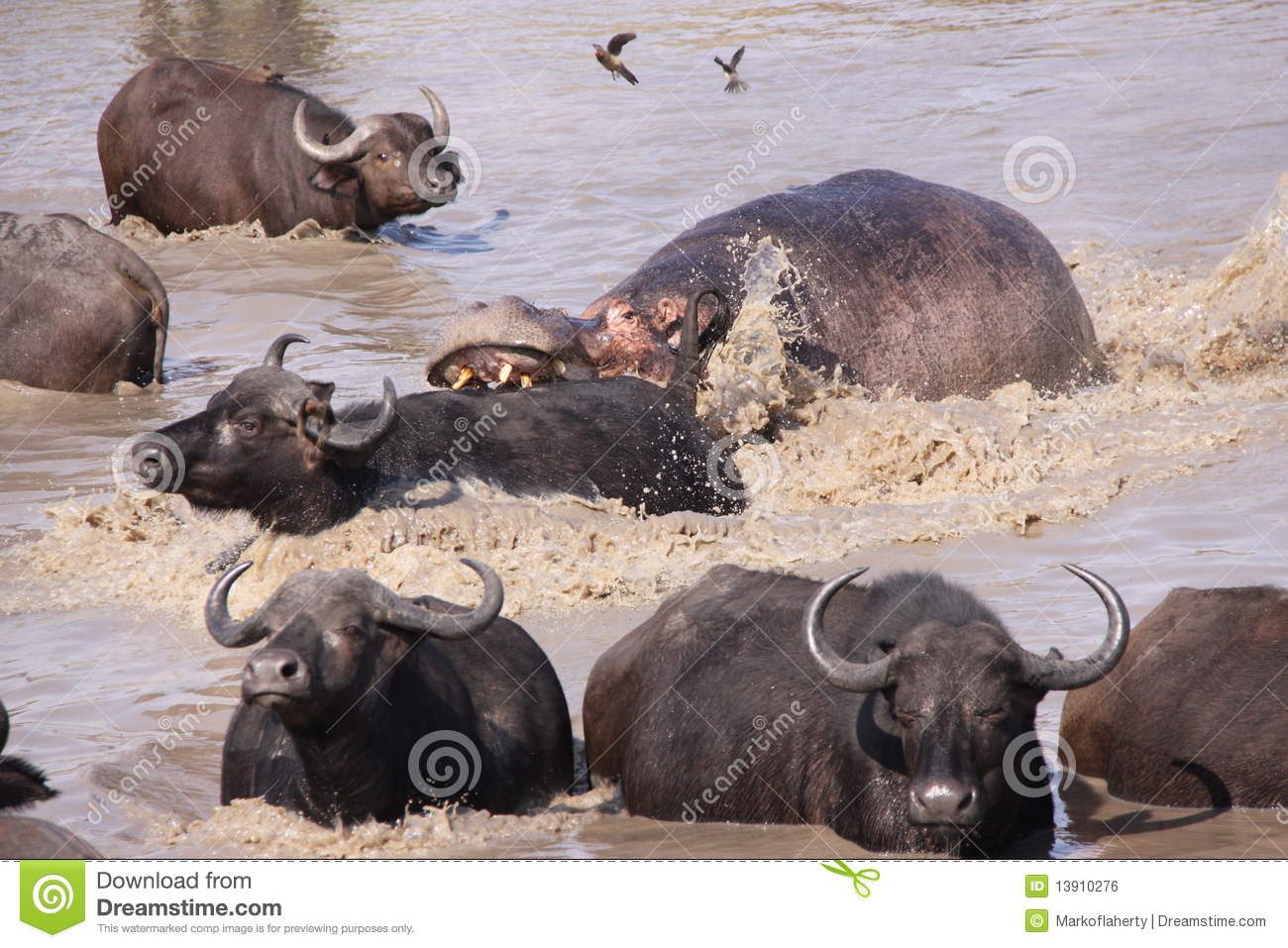 Hippo attack hippo attacking cape buffalo